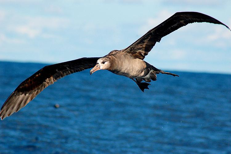 750x500-black-footed-albatross.jpg