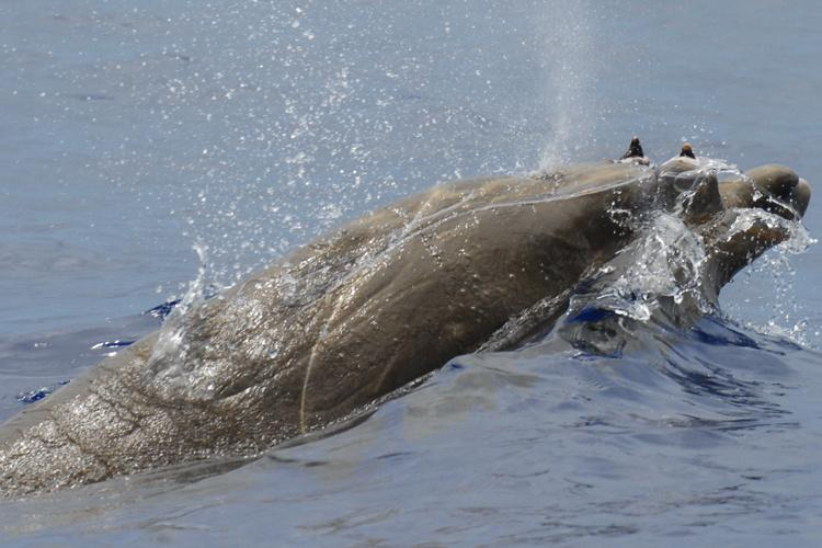 750x500-blainvilles-beaked-whale.jpg