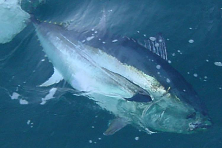 750x500-bluefin-tuna-sf.jpg