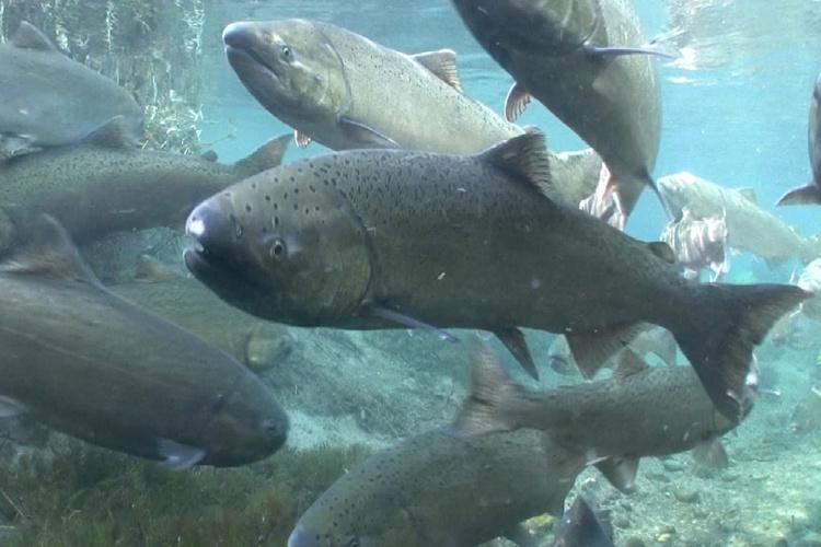 School of adult chinook salmon