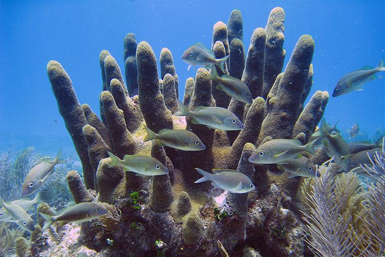 750x500-dendrygyra-cylindrus-pillar-coral.jpg