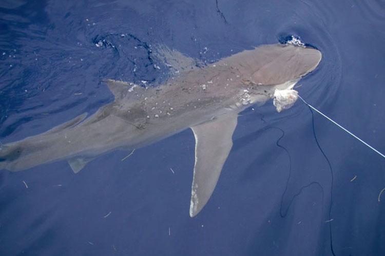 750x500-dusky-shark-sf.jpg