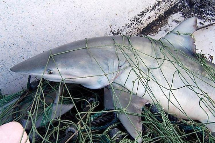 750x500-finetooth-shark-SEFSC.jpg