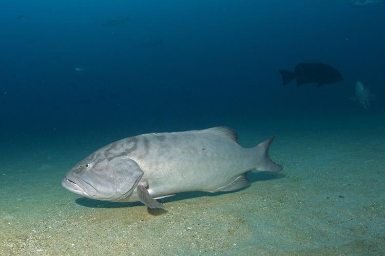 750x500-gulf-grouper1.jpg