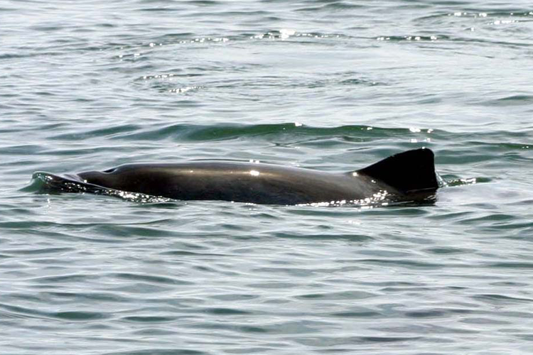 Side view of a harbor porpoise's blow hole and dorsal fin sticking out of water.