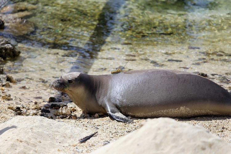 750x500-hawaiian-monk-seal-NOAA-PIFSC.jpg