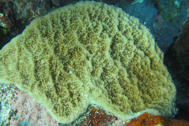 750x500-isopora-crateriformis-coral.jpg