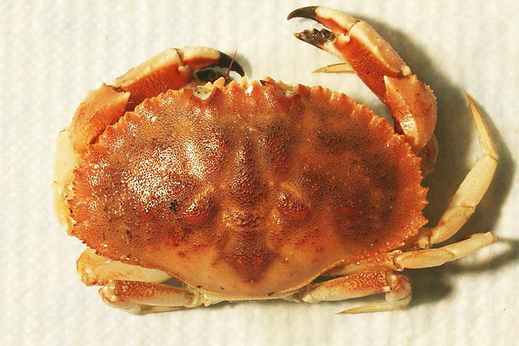 Jonah Crab