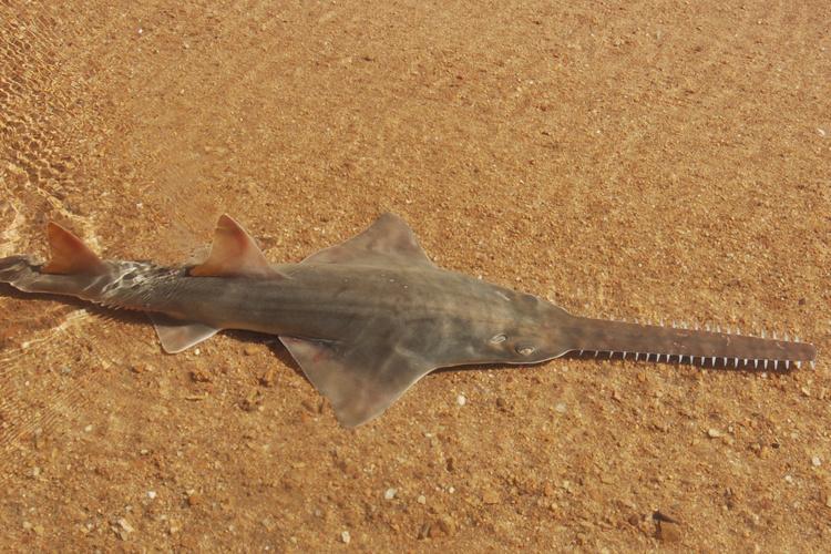 750x500-Largetooth_sawfish.jpg