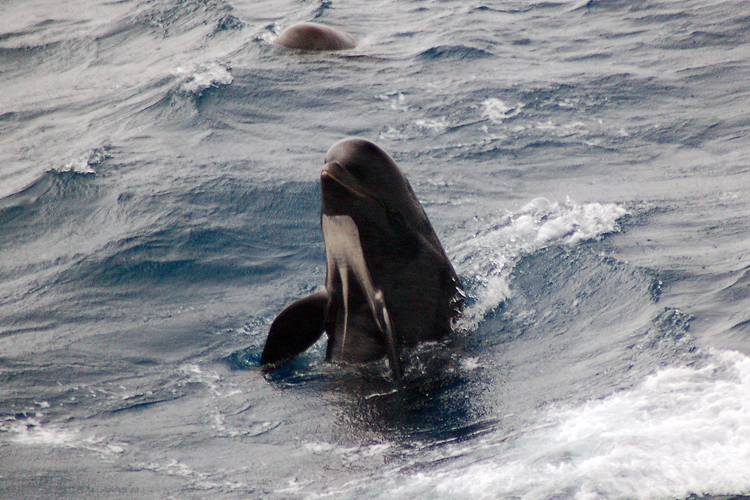 Long-finned pilot whale with the top half of its body coming out of the water. Credit: Howard Goldstein, courtesy of Scripps Institution of Oceanography/ UCSD and R/V Roger Revelle.