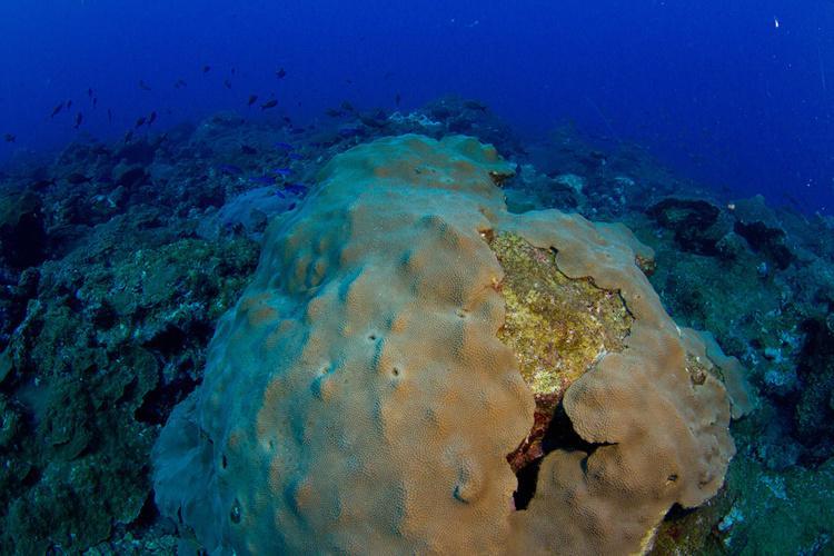 750x500-mountainous-star-coral.jpg