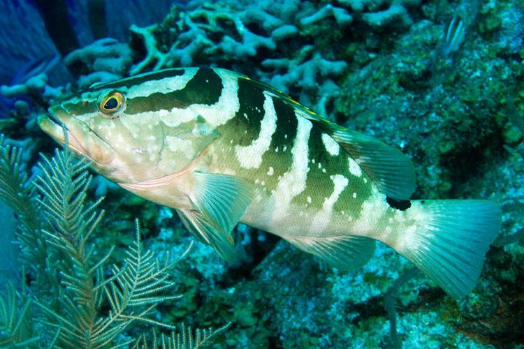 750x500-nassau-grouper.jpg