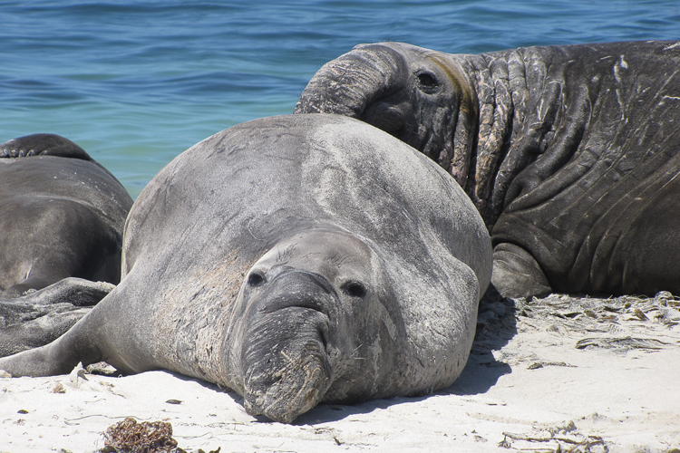 750x500-northern-elephant-seals.png