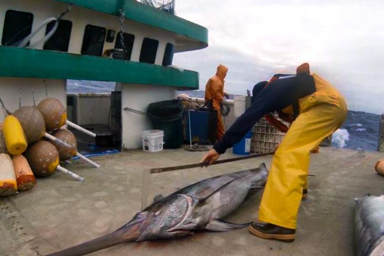 750x500-observer-measuring-swordfish-NOAA-PIRO.jpg