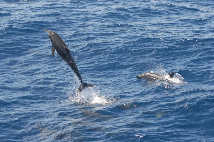 Action shot of a group of rough-toothed dolphin. One dolphin is jumping out of the water with its whole body visible.