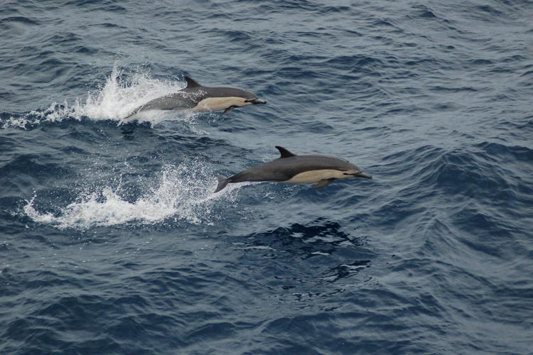 750x500-short-beaked-common-dolphin2.jpg