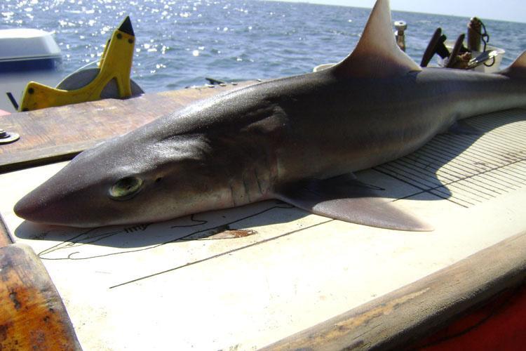 750x500-smoothhound-shark-hms-sf.jpg