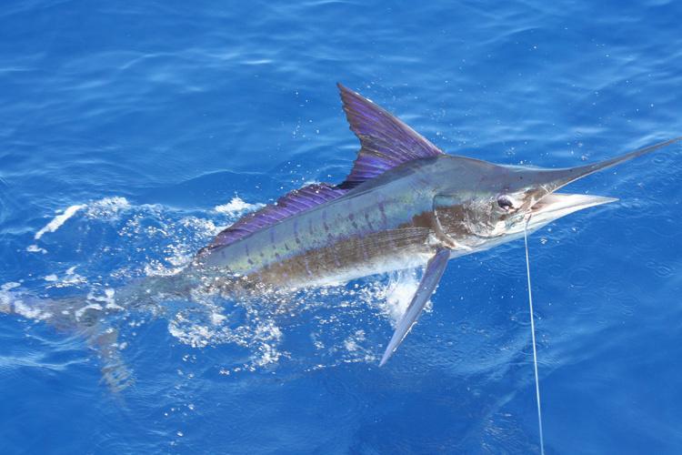 750x500-striped-marlin-J-Mora-CC-SA-3.0.jpg