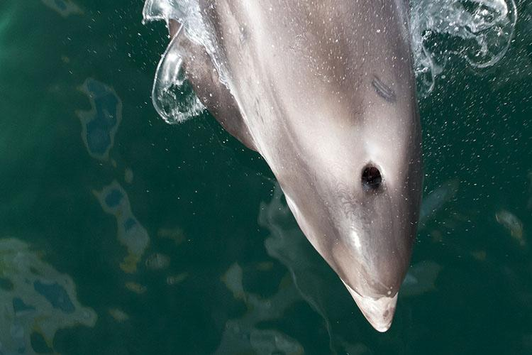 Top view looking down at the front part of a white-beaked dolphin including its blowhole and beak.