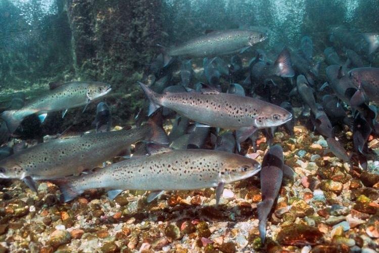 750X500_ atlantic salmon_credit Bob Michelson.jpg
