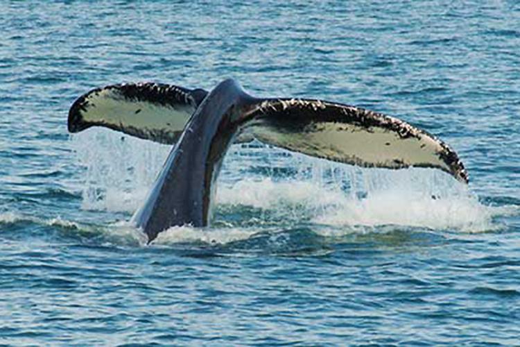 750x500_Humpack_Diving-NOAA-AKRO.jpg