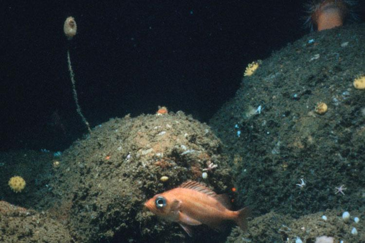 900x600-Acadian-redfish-National Undersea Research Center.jpg