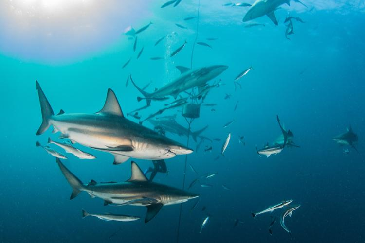900X600-Atlantic-blacktip-shark-NOAA-Shutterstock.jpg
