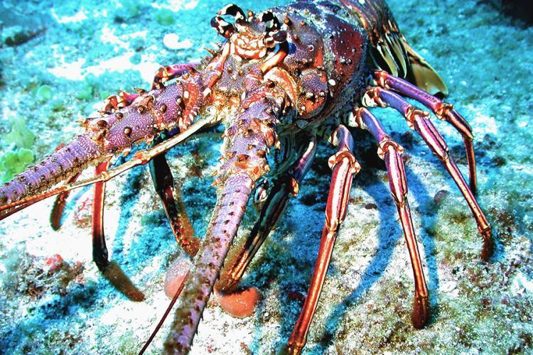 900x600-caribbean-spiny-lobster-NOAA.jpg