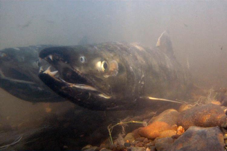 900x600-chum-salmon-NOAA.jpg