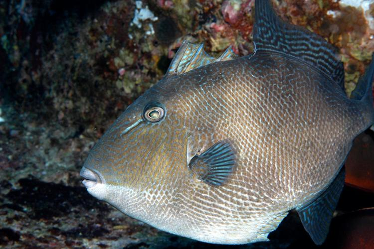 900x600-gray-triggerfish-NOAA.jpg