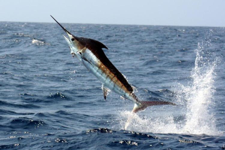 900x600-pacific-blue-marlin-NOAA-Ken-Neill.jpg