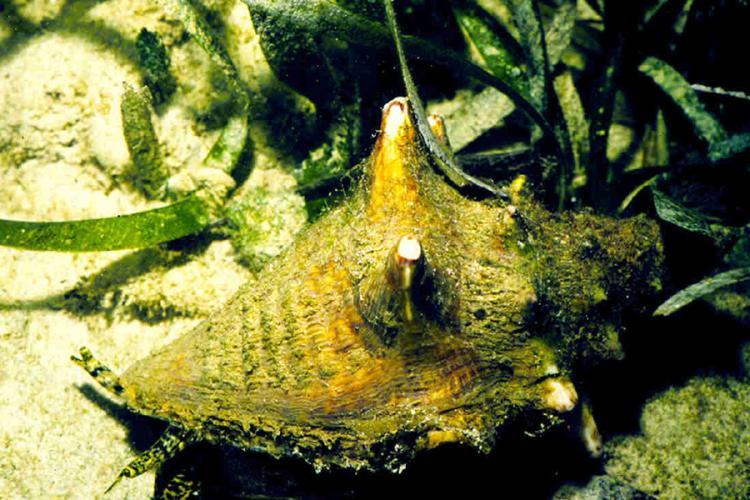 900x600-queen-conch-NOAA.jpg