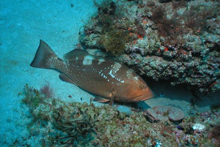 900x600-red-grouper-NOAA.jpg