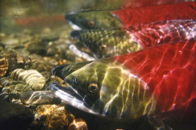 900x600-sockeye-salmon-NOAA.jpg