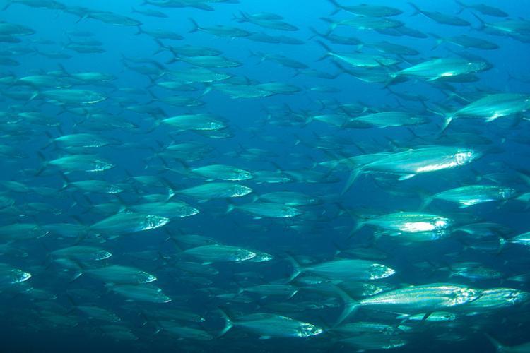 900x600-spanish-mackerel-shutterstock.jpg