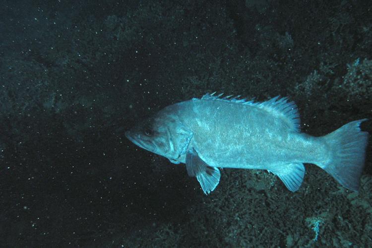 900x600-wreckfish-NOAA.jpg