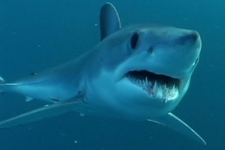 941x706-Atlantic-Pacific-shortfin-mako-shark-NOAA.jpg