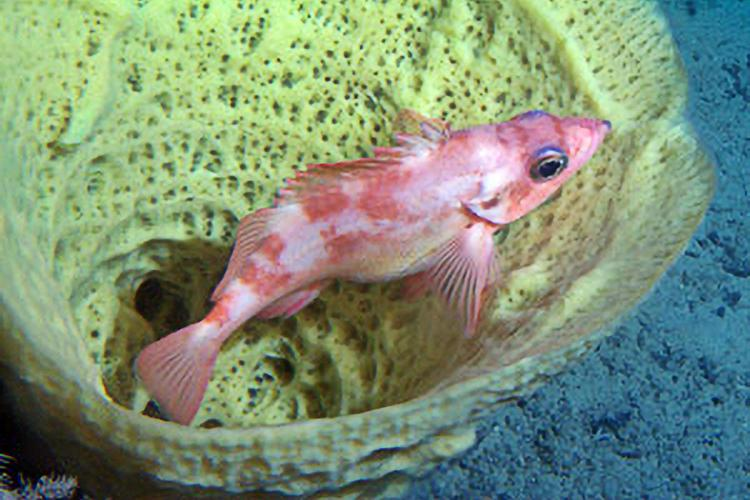 ABL_MESA_sponge_rockfish1.jpg