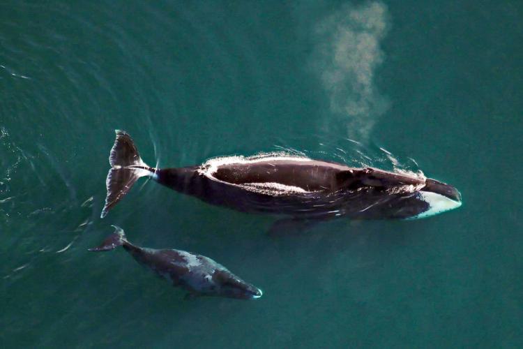 Aerial Surveys of Arctic Marine Mammals.JPG