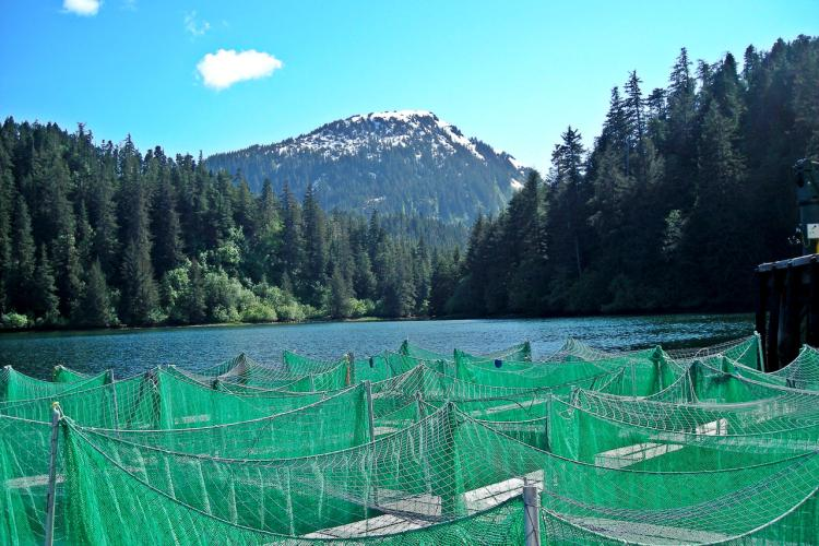 Alaska_Salmon_Travels_Net_pens_with_fish.jpg