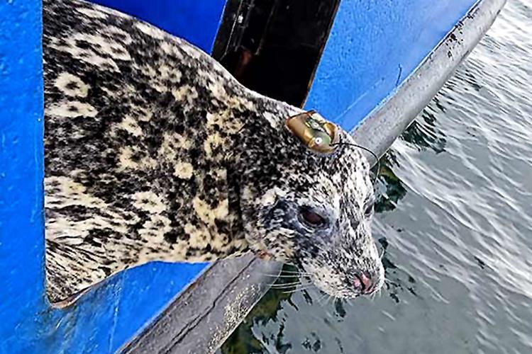 AleutianHarborSealTelemetryStudy3.jpg