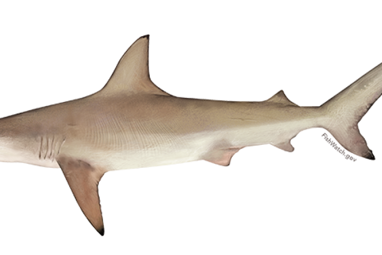 atlantic_blacktip_shark.png