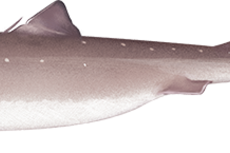 atlantic_spiny_dogfish.png