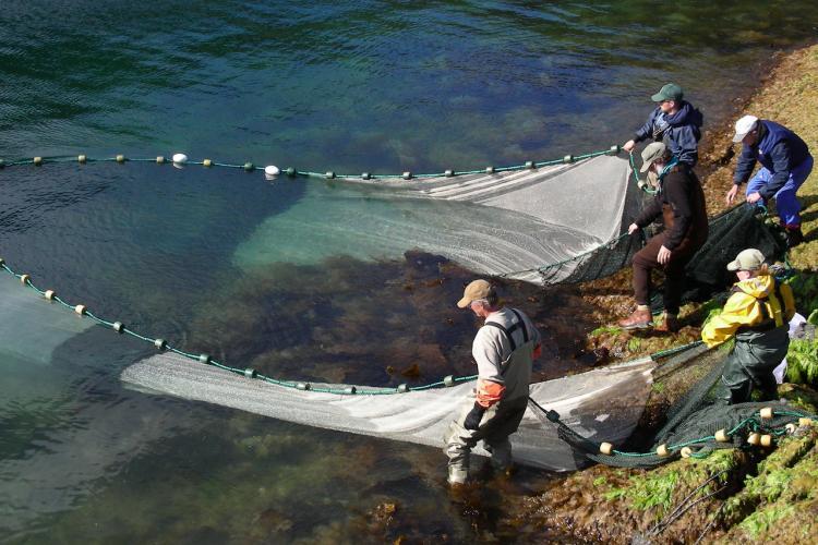 beach-seining-kelp-bed-fishatlas-alaska.jpg