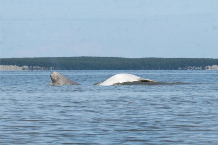 beluga-with-calf.jpg