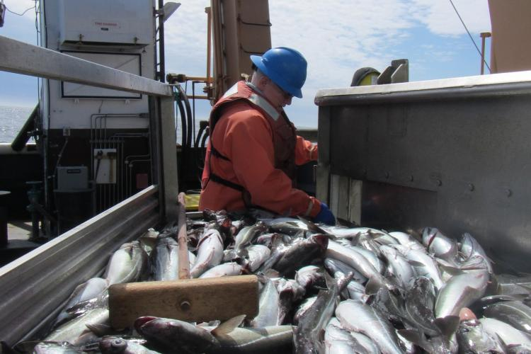 Crew member checking fuel levels onbard the Bigelow,  fish on conveyor.