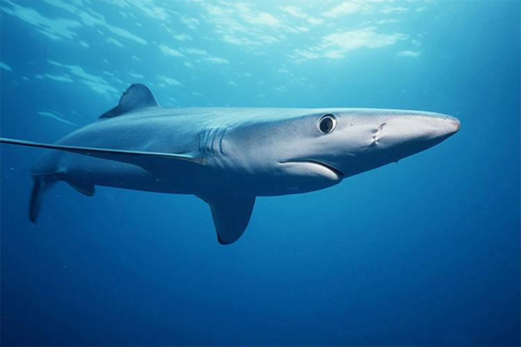 Side view of a blue shark.