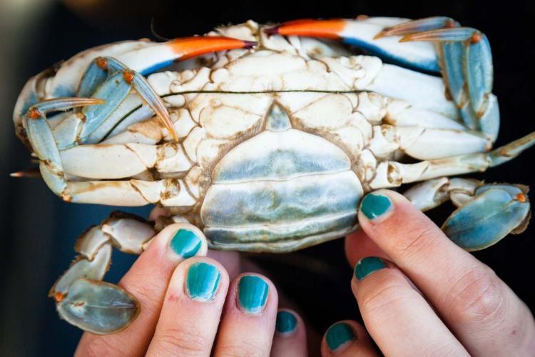 blue crab female credit Chesapeake Bay Program.jpg