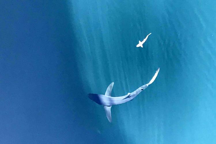 Blue Shark-1.jpg