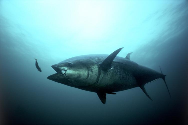 Bluefin Tuna Strike.jpg